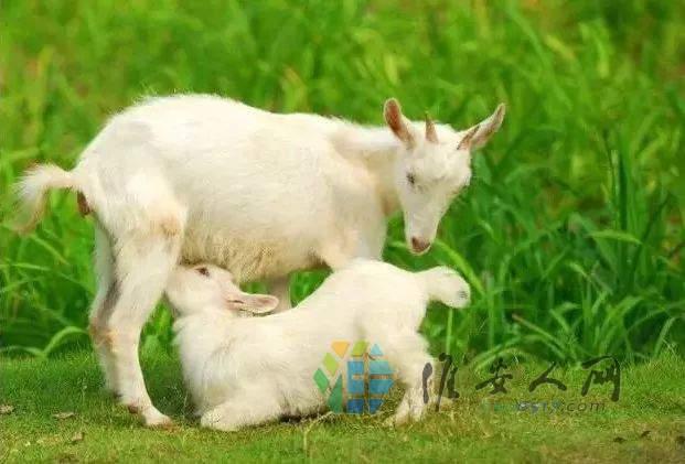 13羊羔羔吃奶眼望着妈.jpeg